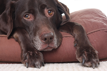 Canine pancreatitis symptoms